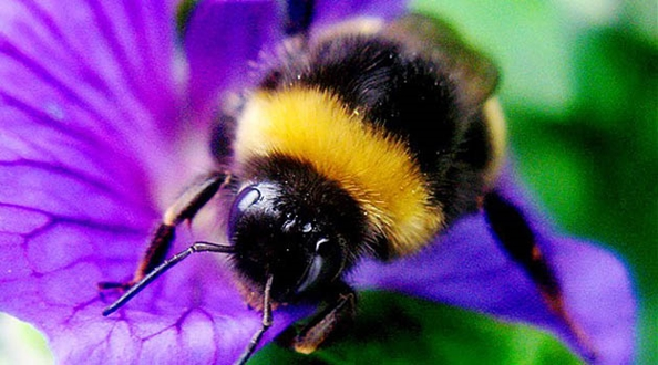 Green Flag Award sites are meeting bees' needs